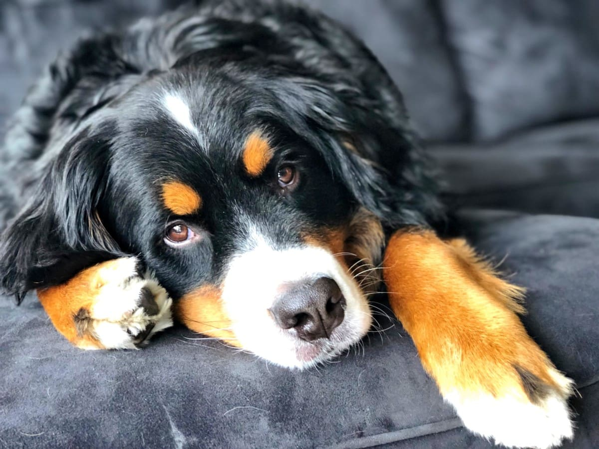 Bernese mountain dog lounging on couch